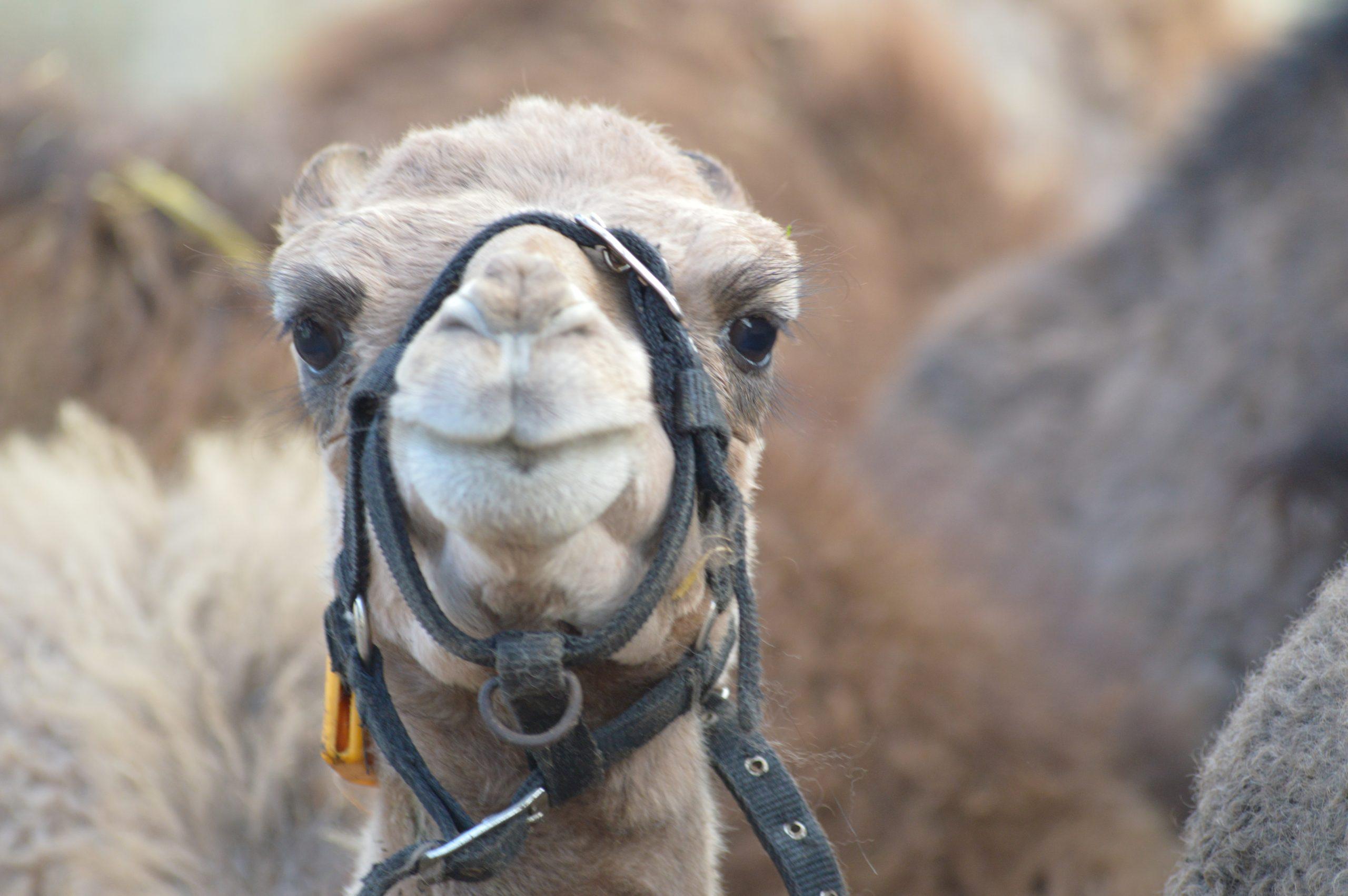 Kamelen op de melkerij