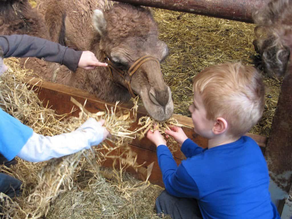 kindje geeft kameel eten